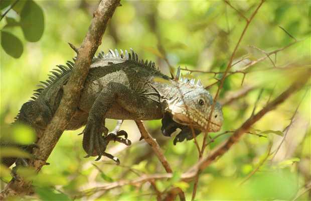 Ilet aux Iguanes