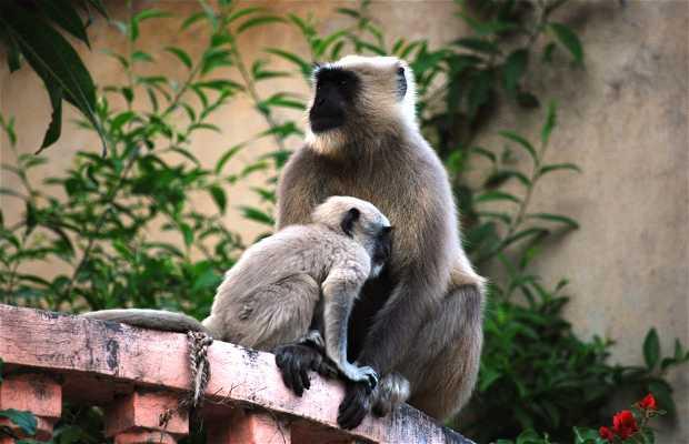 Monos de Rishikesh