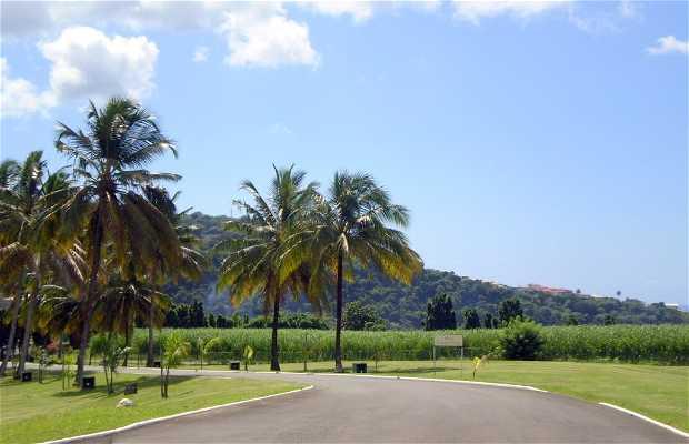 Piantagione della Montagna Pelée a Martinica