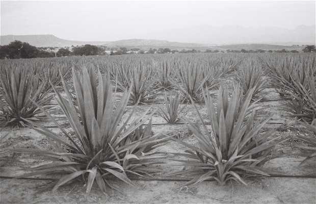 Plantación de Magueyes