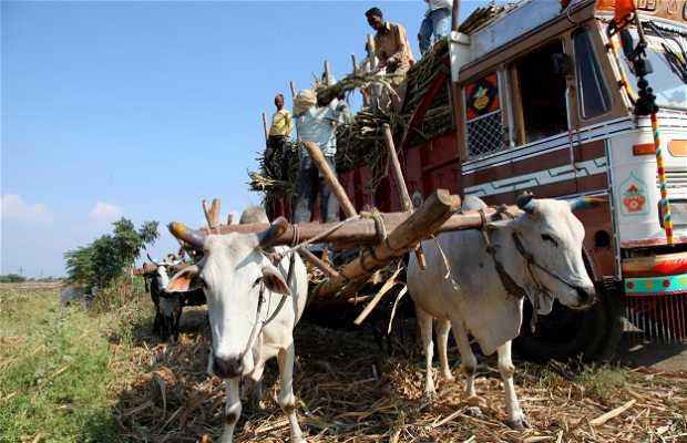 La caña de azúcar Maharashtra