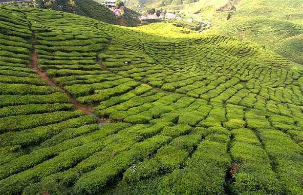 Plantaciones de té Bharat