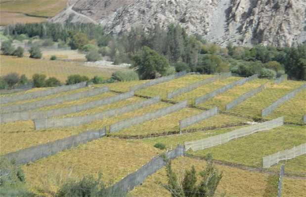 Vinas de Pisco Elqui