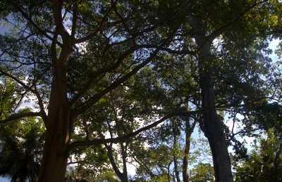 Caobas gigantes de Lombok
