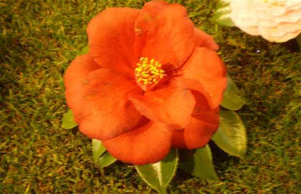 XLVIII international Camellia Concurso-Exposición