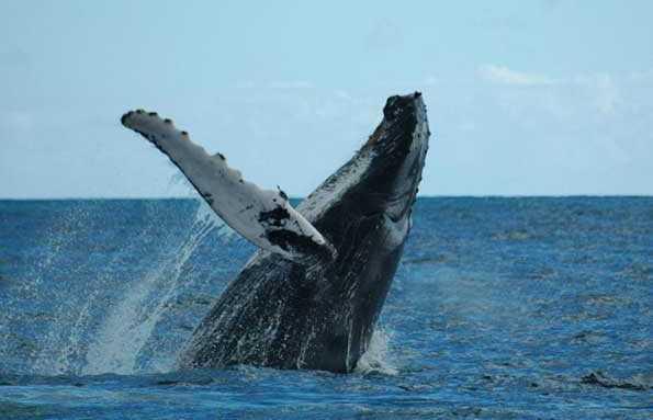 Avistamiento de Ballenas en el Pacífico Sur de Costa RIca