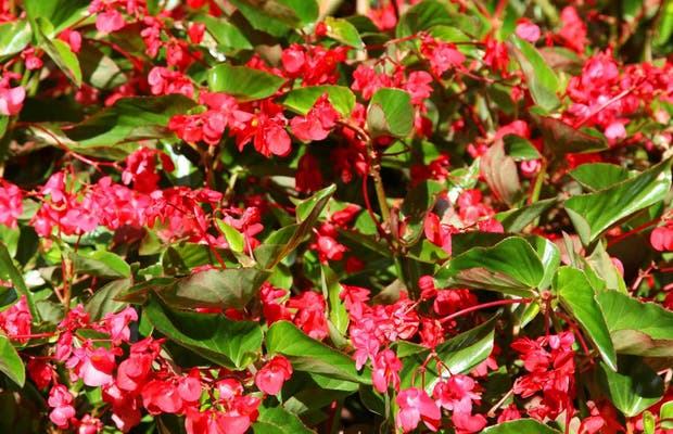 Begonias del Jardin Henri II