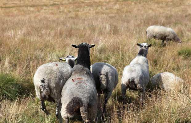 Moutons à l'estive de Garnier