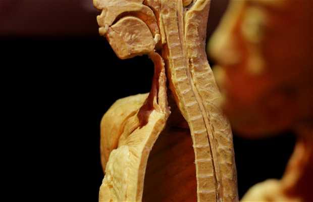 Exposición Human Bodies: Anatomía de la Vida