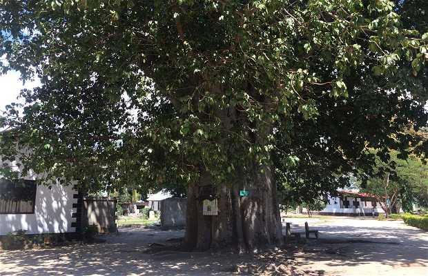 Árbol de baobab