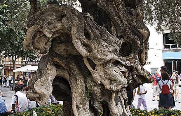 Olivos Centenarios Montañez