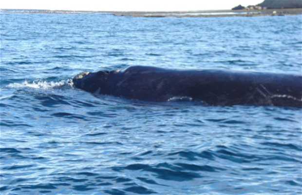 Avistaje de ballenas en Pirámides