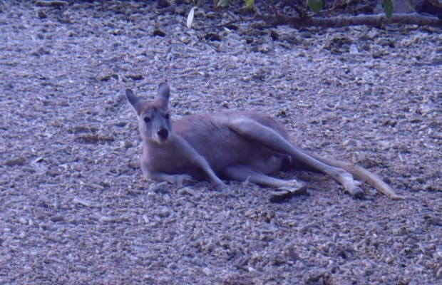 The wallaby