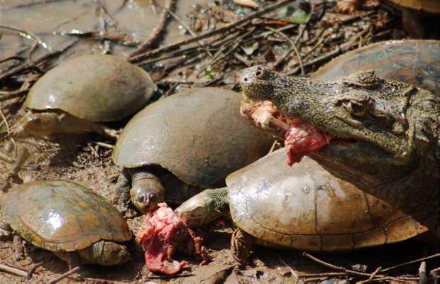 Dando de comer a los caimanes en Los Llanos