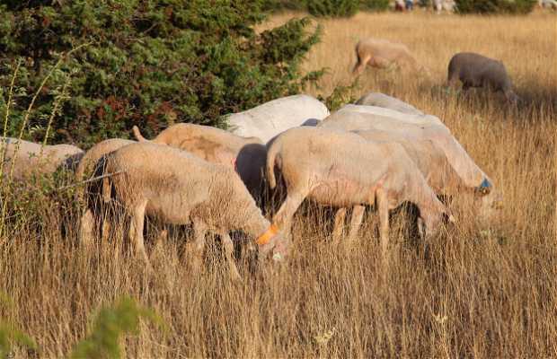 Moutons du Larzac