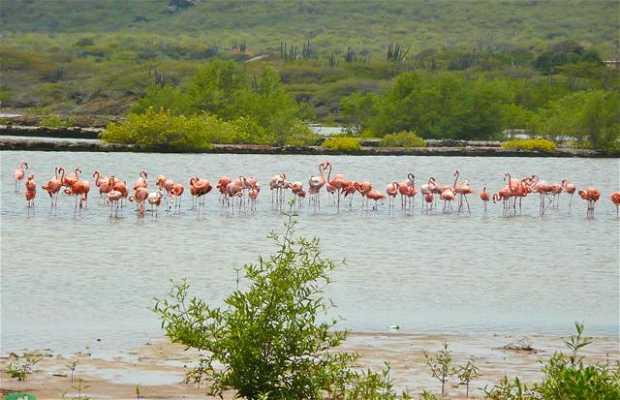 Flamingos no Salt Pond