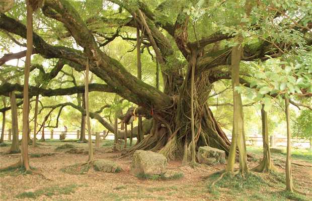 Grand Banyan Tree Scenic Area