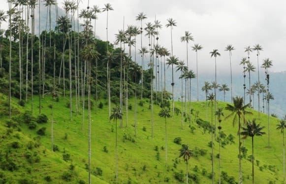 Quindio wax palm