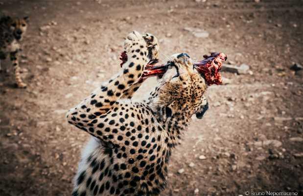 Alimentando Guepardos