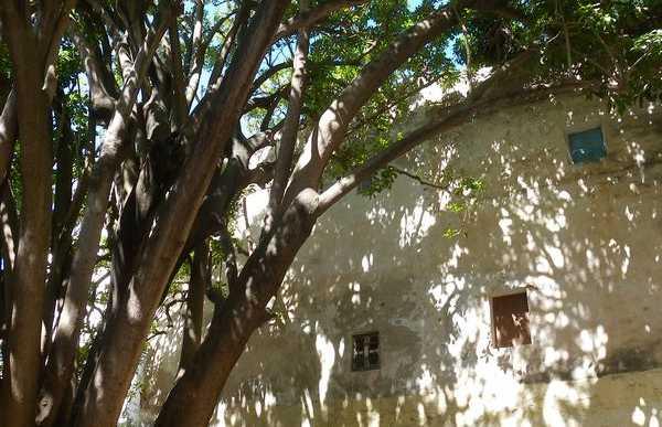 Ficus gigante