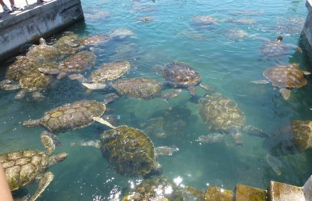 Cayman Turtle Farm - Granja de Tortugas