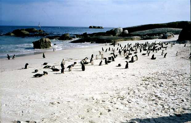 Pingüinos de Simon's Town