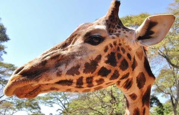 Centre de girafes