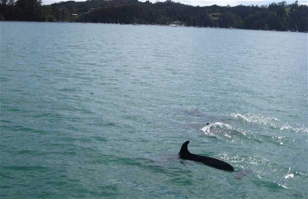 Descubre Bay of Island con los delfines