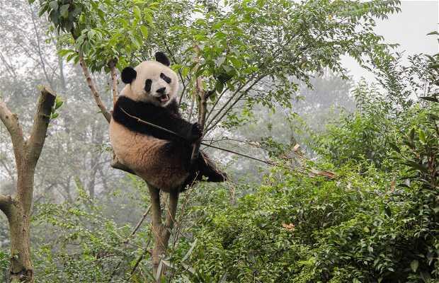 Centro para la investigación y la reproducción del Panda gigante