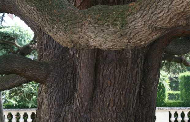 The Lebanon Cedar