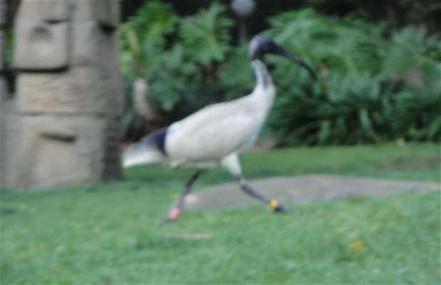 Los ibis
