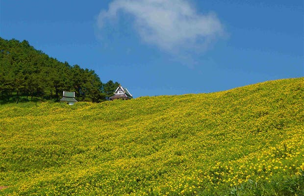 Campos de Flores amarillas