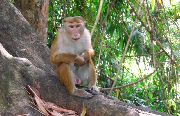 Monkeys in Paradeniya