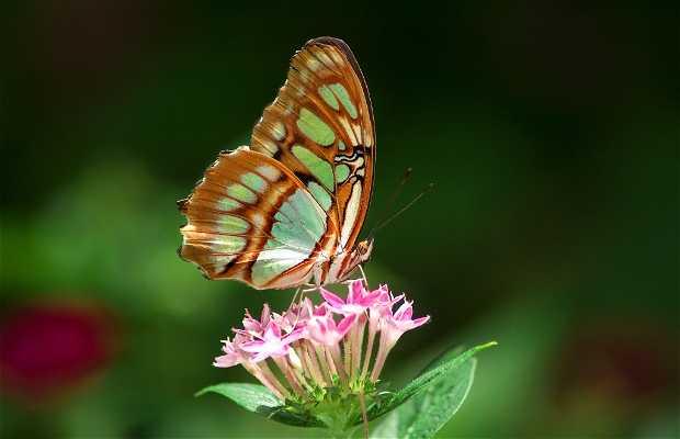 Mariposa Maya