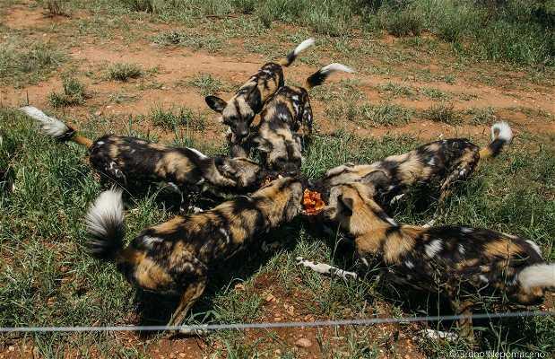 Alimentação dos carnívoros de Naankuse