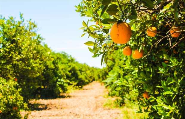 Huertas de Naranjas en Allende
