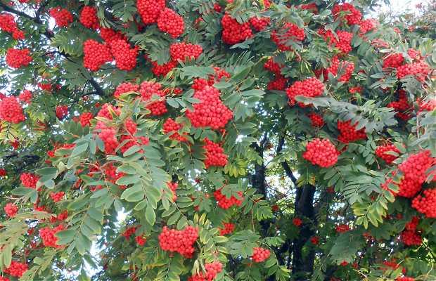 Los rojos frutos del serbal del cazador en san mart n de for Arbol de frutos rojos pequenos
