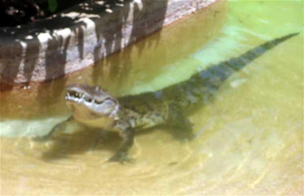 Show de los cocodrilos