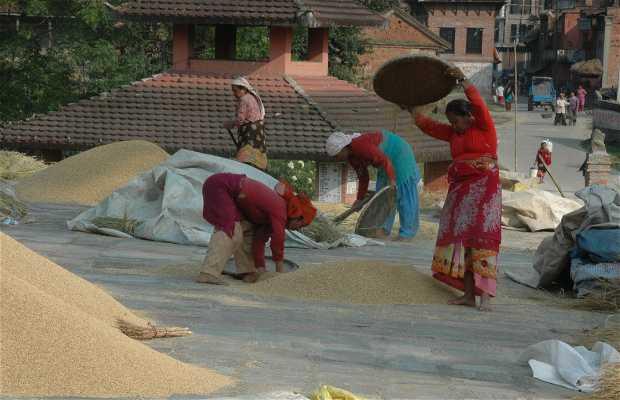 Bhaktapur: cosecha de arroz