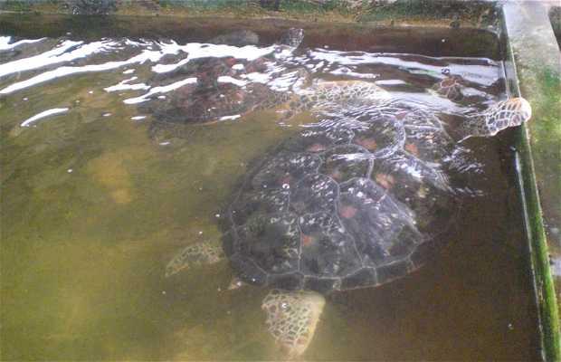 Kosgoda Sea Turtle Hatchery