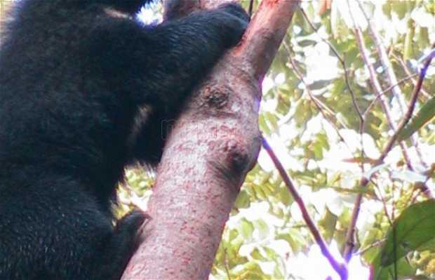 Ursos em Kuang Si