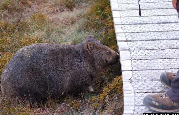 Les wombats