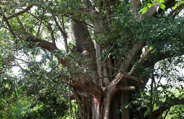 Dan Baobab