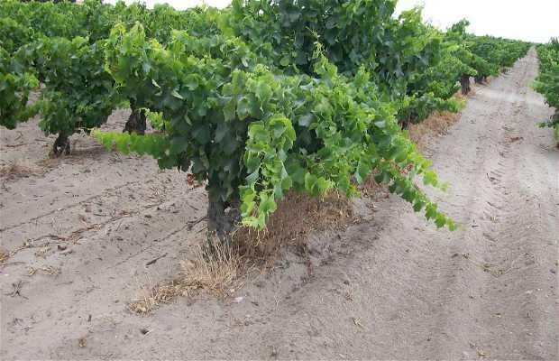 Vignoble de Listel.