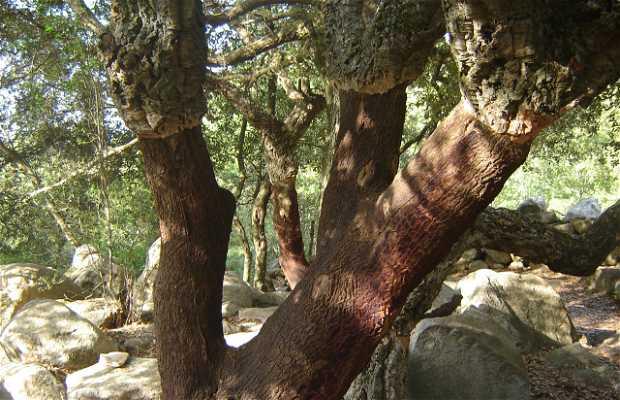 Forest of Cork Oaks