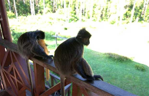 Plataforma de forraje B de los monos narigudos