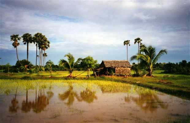 Campagne rizicole de Siem Reap