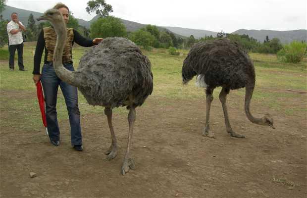 Ostrich Farm - Espexóticas of Colombia
