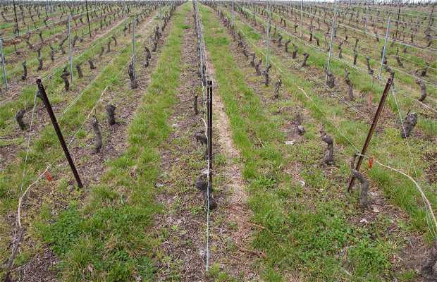 Geneva wineyards