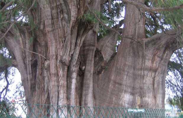 Árbol de El Tule